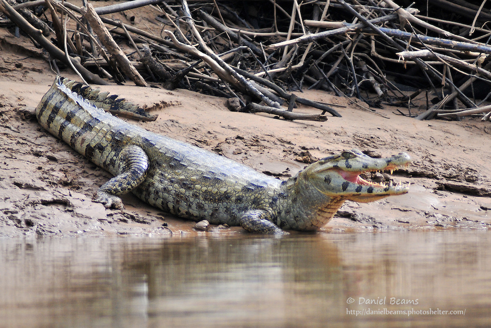 Caiman on the banks of the Secure River in the Isiboro-Secure National Park, Beni, Bolivia