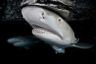 Portrait of Lemon Shark/s of the Bahamas