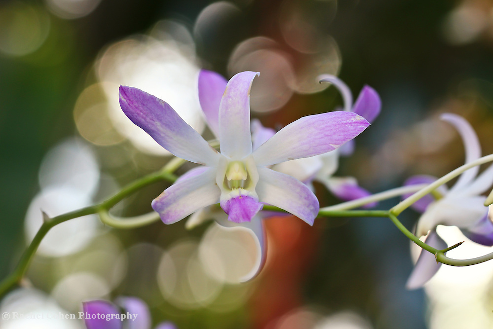 &quot;Dance with Delight&quot; 2<br /> <br /> Dance with delight in this magical white and purple orchid image filled with lovely light and bokeh!!<br /> <br /> Flower and floral images by Rachel Cohen