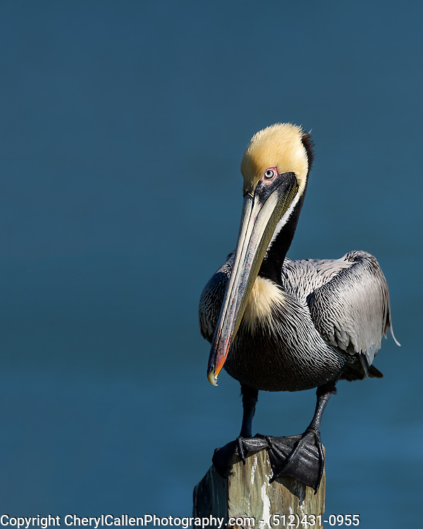 Brown Pelican sitting on a wooden piling in Rockport,Texas