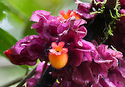An orange flower blooms from pink foliage in Bellavista Cloud Forest Reserve, near Quito, Ecuador, South America.