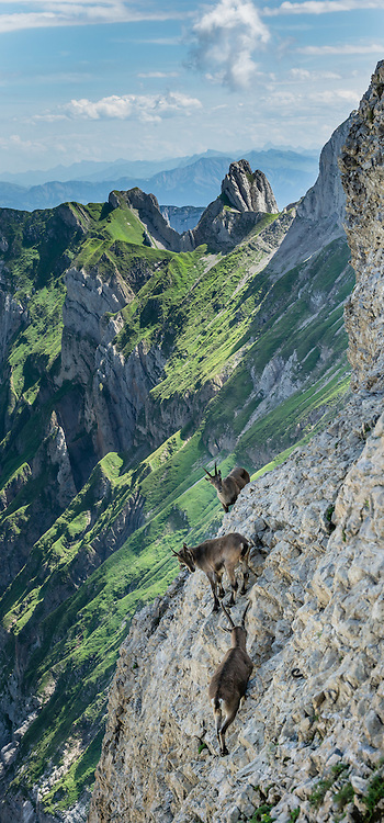 Alpine ibex gather at Rotsteinpass (2120 m) in the Alpstein limestone mountain range, Appenzell Alps, Switzerland, Europe. The Alpine ibex or steinbock (Capra ibex, in the Bovidae family) is a wild goat of the European Alps. Four distinct social groups tend to form: adult male groups, female-offspring groups, groups of young individuals, and mixed sex groups; but Adult males and females segregate for most of the year, coming together only to mate. After being eliminated from most of the European Alps by the 1800s, the ibex was successfully reintroduced. Appenzell Innerrhoden is Switzerland's most traditional and smallest-population canton (second smallest by area). This image was stitched from multiple overlapping photos.