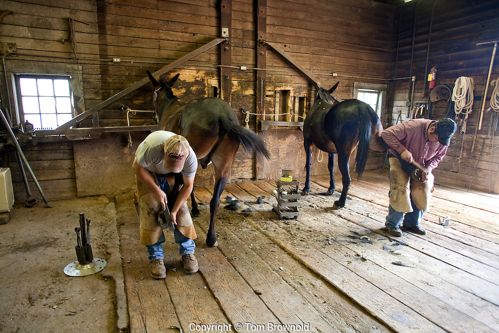 Two Farriers shoing mules