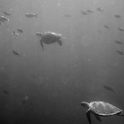 Sea Turtles swim with fish underwater near Lady Elliot Island.