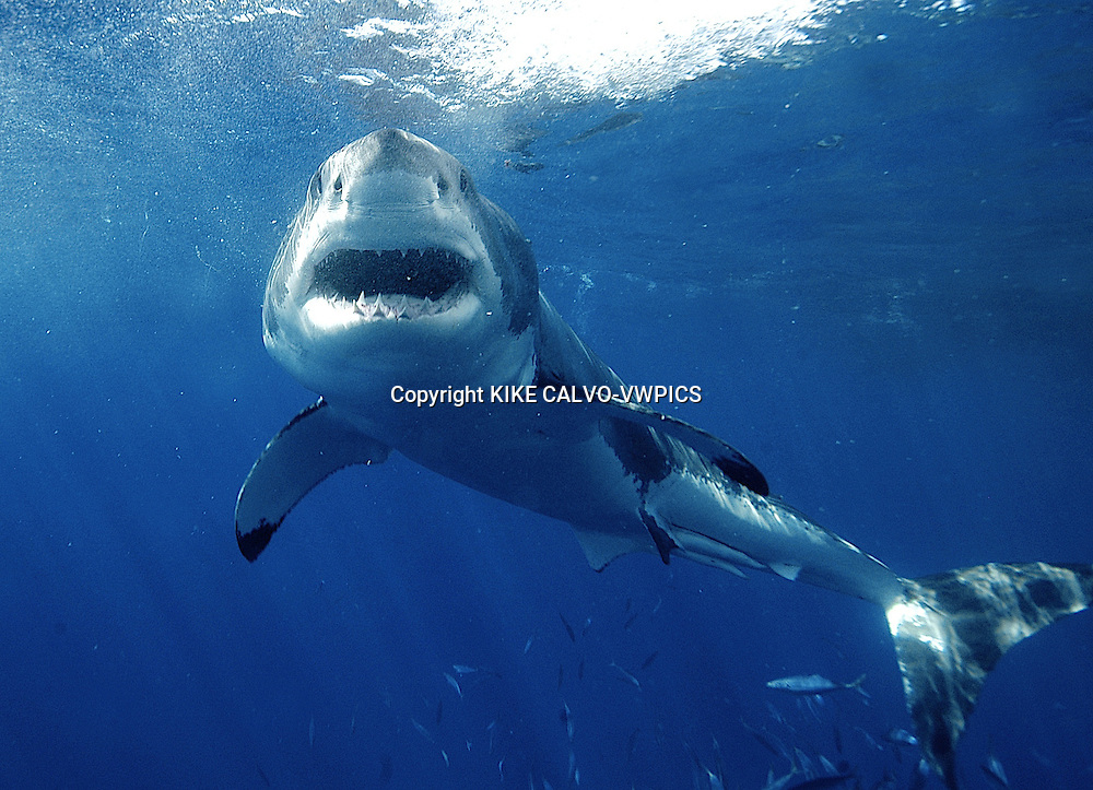 , Isla Guadalupe is located 160 miles off the coast off Baja California and over 220 miles southwest of San Diego in open ocean water that has over 100 feet of visibility. Its rapidly becoming the World's Best Destination to dive with Great White Sharks (Carcharodon carcharias). It hosts one of the most prolific populations of White Sharks on the planet.