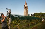 Venezia - Isola di Mazzorbo.Vendemmia nella Tenuta Venissa di Matteo Bisol.
