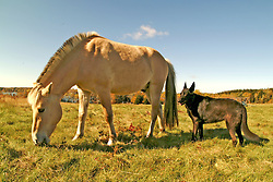 Grazing horse with black German shepard dog