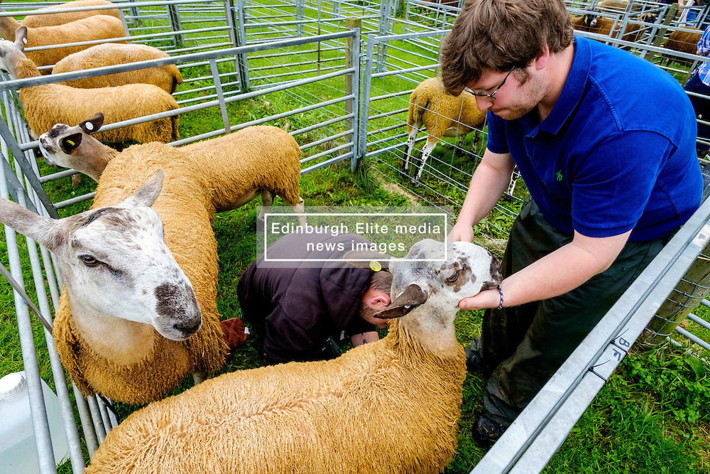 Biggar, South Lanarkshire, Scotland 23 July 2016<br /> Bluefaced Leicester sheep being prepared for showing.<br /> (c) Andrew Wilson | Edinburgh Elite media