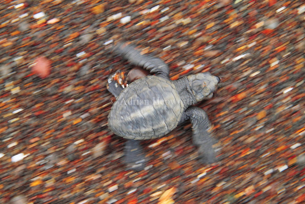Most baby turtles hatch during the night and make their way down the beach to the ocean under the cover of darkness. There are some, however, that emerge very early or late in the day and so are visible to hungry birds. If these hatchlings are to survive their journey to the surf they must scramble across the sand as fast as possible. In this image I wanted to relay some of the urgency of the Olive Ridley hatchling&acirc;€™s quest to survive.<br />