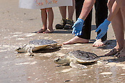 Volunteers release rehabilitated Kemp's Ridley sea turtles back into the Atlantic ocean during the release of rescued sea turtles May 14, 2015 in Isle of Palms, South Carolina. The turtles were rescued along the coast and rehabilitated by the sea turtle hospital at the South Carolina Aquarium in Charleston.