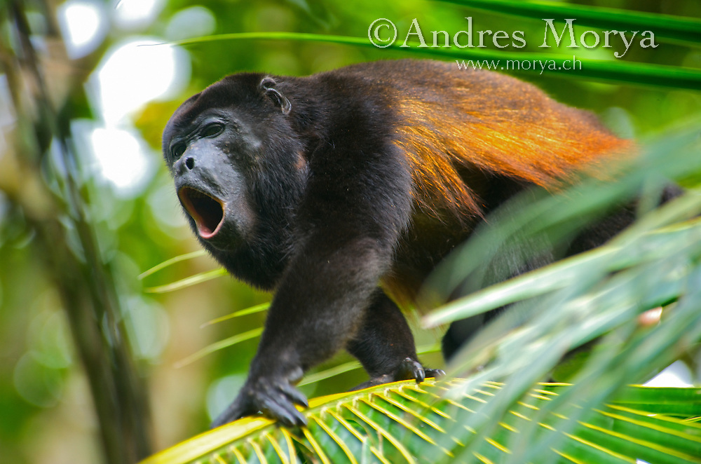 """Mantled howler monkey (Alouatta palliata), Costa Rica. The mantled howler (Alouatta palliata), or golden-mantled howling monkey, is a species of howler monkey, a type of New World monkey, from Central and South America. It is one of the monkey species most often seen and heard in the wild in Central America. It takes its """"mantled"""" name from the long guard hairs on its sides. The mantled howler is one of the largest Central American monkeys. Image by Andres Morya"""