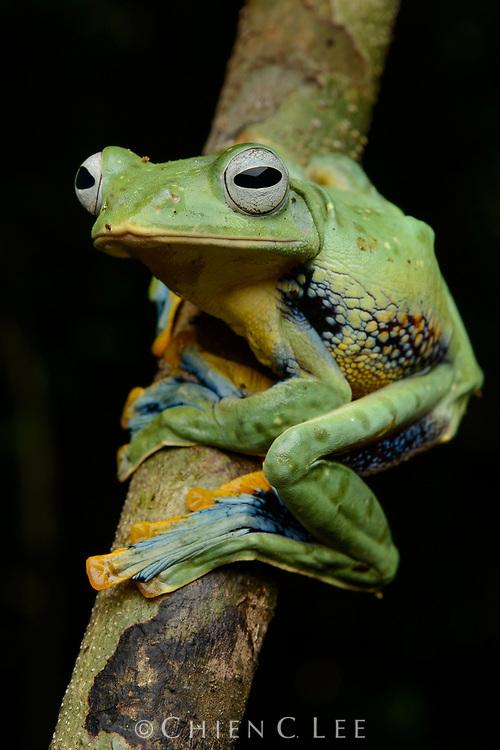 Bornean Gliding Frog (Rhacophorus borneensis), female
