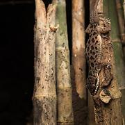 Pegu Bent-toed Gecko (Cyrtodactylus peguensis) in Kanchanaburi, Thailand