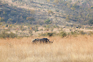 White Rhino male grazing in the long winter grass.
