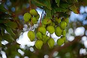 Green Mango, Kalaheo, Kauai, Hawaii