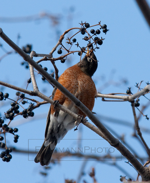 A robin eats a berry from a tree near Lake Nokomis
