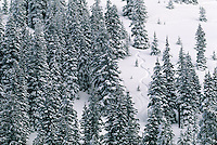 Spruce Fir ski slope in winter; Gunnison National Forest, Monarch Pass, Colorado