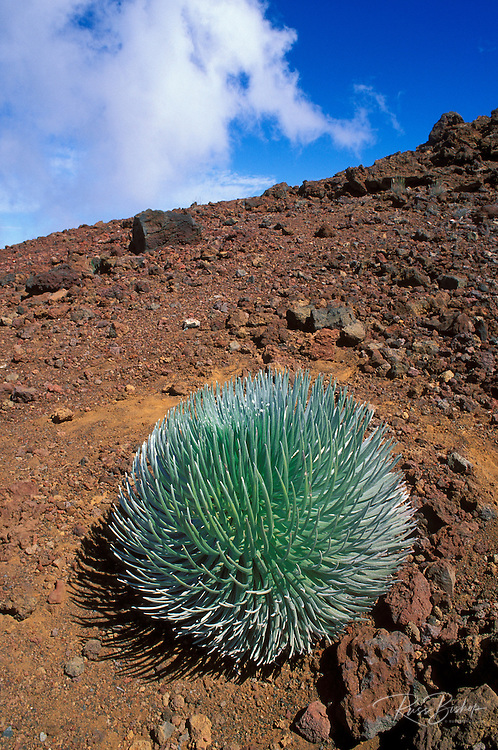 Haleakala Silversword plant, Haleakala National Park, Island of Maui, Hawaii