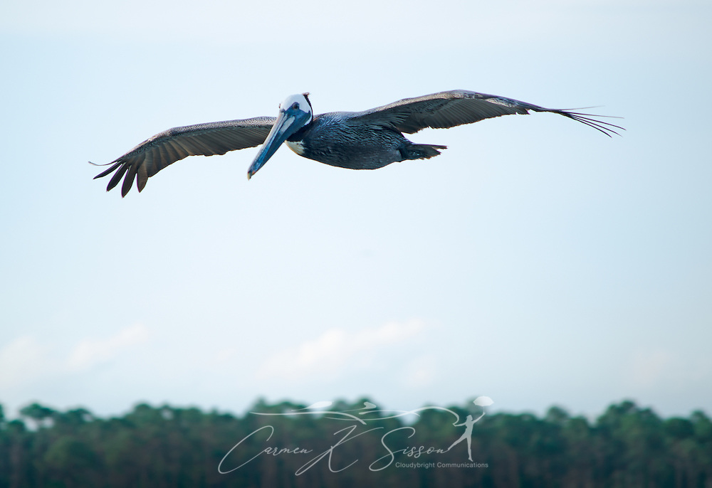 A brown pelican flies near the Bayou La Batre State Docks June 17, 2013. (Photo by Carmen K. Sisson/Cloudybright)
