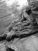 A water-worn tree root appears to exude from the sandstone along Lick Wash, Grand Staircase-Escalante National Monument, near Kanab, Utah.
