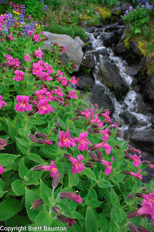 Mt. Baker Wilderness Area; Wildflowers; Heliotrope Ridge; Meadow, Monkeyflower, Creek, Pacific NW; Washington State; Green, Pink