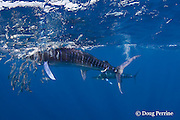 striped marlin, Kajikia audax (formerly Tetrapturus audax ), feeding on baitball of sardines or pilchards, Sardinops sagax, off Baja California, Mexico ( Eastern Pacific Ocean ) #5 in sequence of 5 images (dm)