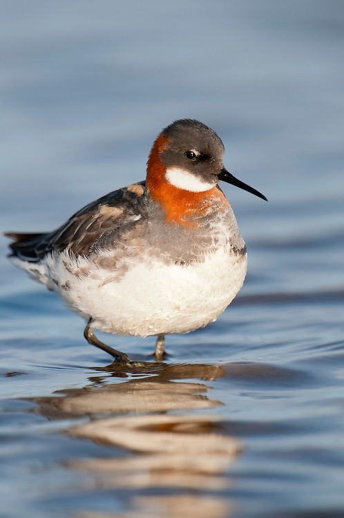 Red-necked Phalaropes, Phalaropus lobatus, female, Yukon Delta NWR, Alaska