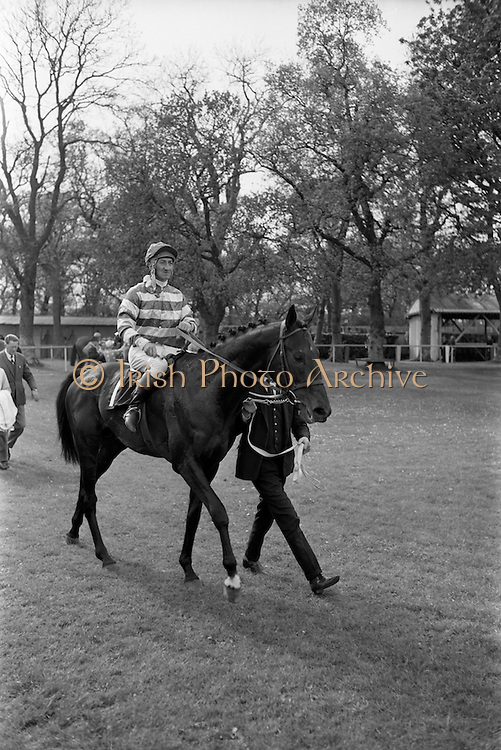 "08/05/1965<br /> 05/08/1965<br /> 08 May 1965<br /> The 1965 Gold Flake Meeting at Leopardstown Racecourse, Co. Dublin. Image shows Mr Raymond R. Guest's ""Rigi"" (J.M. Purtell up) winner of the Three Castle Stakes being led in after the race."