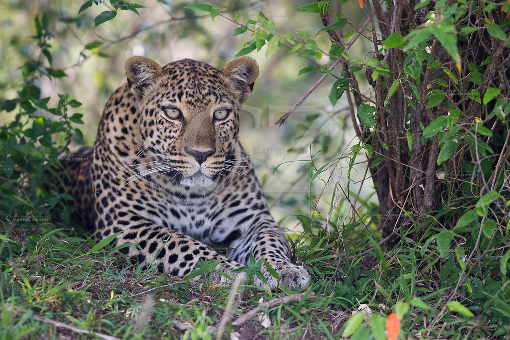 A portrait of an Angry Leopard in the deep vegetation look on my direction at Masai Mara National Reserve, kenya<br /> photo credit by:&copy;Claudio Zamagni