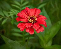 Red Zinnia flower after the rain. Backyard summer nature in New Jersey. Image taken with a Leica T camera and 55-135 mm lens (ISO 1600, 135 mm, f/5.6, 1/400 sec).