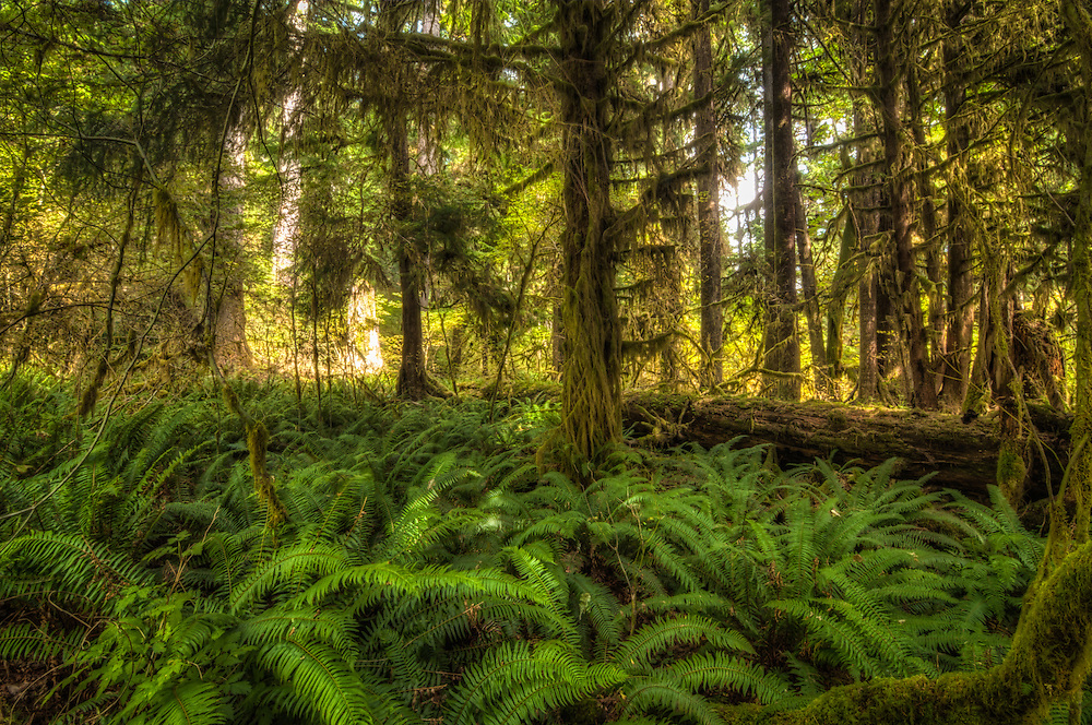 A carpet of large western sword ferns covers the understory of the Hoh Rain Forest on the Olympic Peninsula in Washington State, where the air is always cool and dark, and the forest floor is nearly always wet. Historically and importantly, the original native peoples of this part of the world could rely and survive off of the roasted roots (rhizomes) of these ferns during lean times.