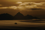 With the midnight sun casting a warm glow over the icy landscape, a polar bear crosses the frozen plain near Borebreen, one of Spitsbergen's many glaciers, in the high arctic archipelago of Svalbard.