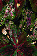 Caladiums with Filters