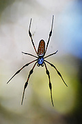 This is a photograph of a Golden-Silk Spider.