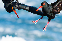 African Black Oystercatcher territorial interaction, Malgas Island, Western Cape, SOuth Africa