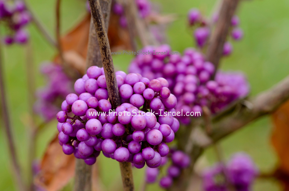 A cluster of purple berries of the Beautyberry (Callicarpa) plant