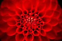 A closeup of an unfurling red Dahlia.