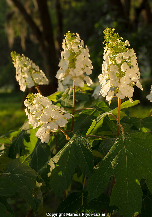 Oak-leaf Hydrangea in flower, Hydrangea quercifolia, Florida