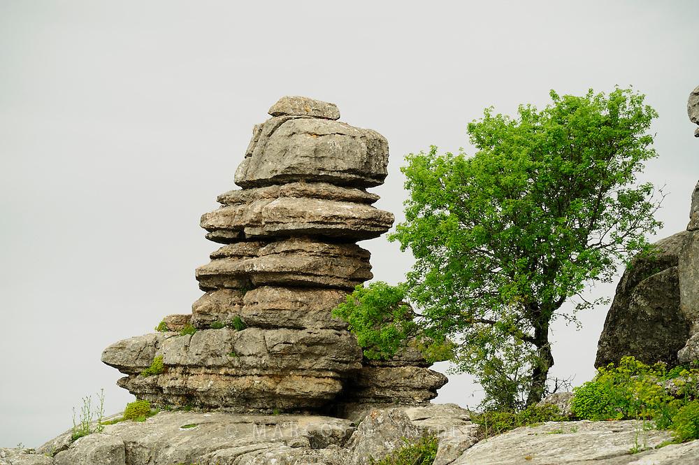 EN. Montpellier maple (Acer monspessulanum) growing next to a rock formation in el Torcal de Antequera, Malaga province, Andalucia, Spain.<br /> ES. Arce de Montpellier (Acer monspessulanum) junto a formaci&oacute;n rocosa en el Torcal de Antequera, M&aacute;laga, Andaluc&iacute;a, Espa&ntilde;a.