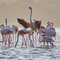 Flamingo (Phoenicopterus roseus) fotografado na África do Sul. Registro feito em 2019.<br /> ⠀<br /> ⠀<br /> <br /> <br /> <br /> <br /> ENGLISH: Greater flamingo photographed in South Africa. Picture made in 2019.