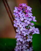 Lilac flowers. Image taken with a Fuji X-T3 camera and 80 mm f/2.8 macro lens (ISO 320, 80 mm, f/2.8, 1/1800 sec).
