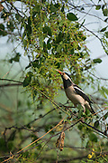 Asian pied starling (Gracupica contra) or Pied myna<br /> Bharatpur National Park <br /> Rajasthan, India