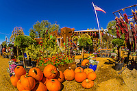 Pumpkins and ristras (drying red chile pepper pods), Jericho Nursery, Albuquerque, New Mexico USA