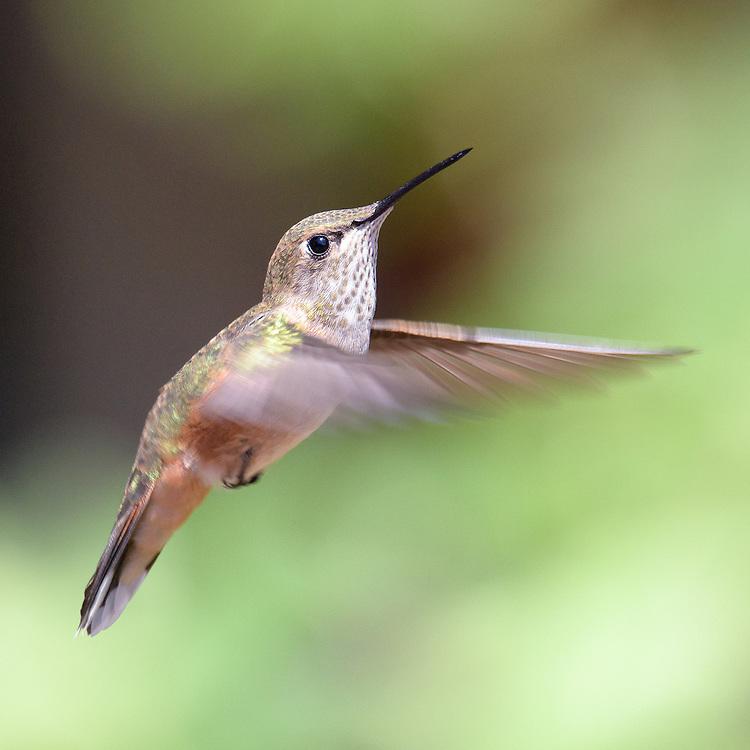 Female Hummingbird in flight in Lyons, Colorado