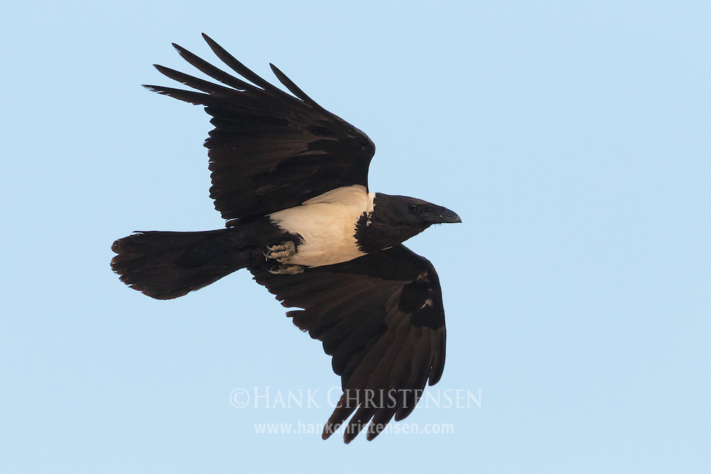 A pied crow flies overhead, Namib-Naukluft National Park, Namibia.