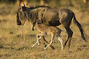 Wildebeest<br /> Connochaetes taurinus <br /> Mother and newborn calf (1-3 days old) running<br /> Masai Mara Conservancy, Kenya