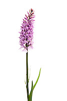 IFTE-NB-007335; Niall Benvie; Common spotted orchid; Austria; Dactylorhiza; fuchsii; Europ; Tirol; Fliesser Sonnenhänge; vegetation flowering plant; vertical; high key; white purple; wild; grassland meadow woodland edge; 2008; July; summer; strobe backlight; Wild Wonders of Europe Naturpark Kaunergrat