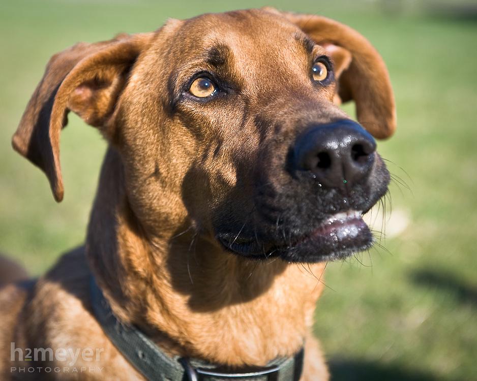 Rhodesian Ridgeback Labrador mix.  Owner - Christy Hylton , Pet Portrait Photography