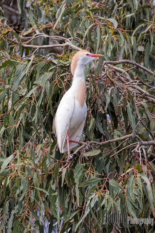 Cattle egret perching in a eucalyptus tree, Laguna de Santa Rosa, Santa Rosa, California