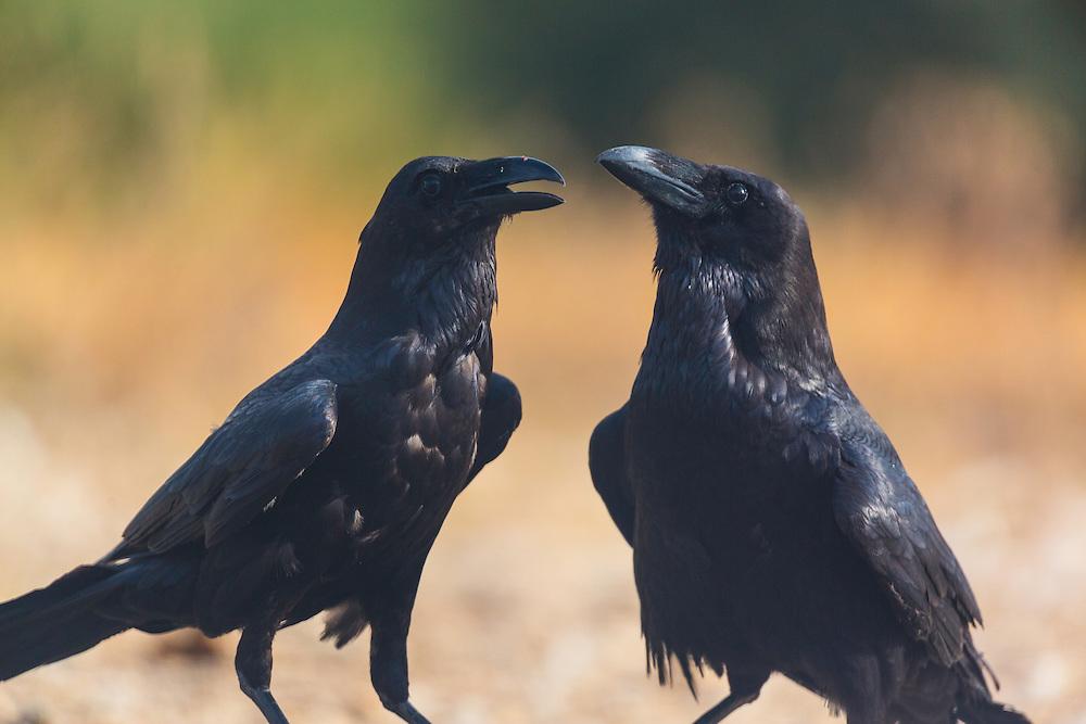 COMMON RAVEN (Corvus corax), Campanarios de Azaba Biological Reserve, Salamanca, Castilla y Leon, Spain, Europe